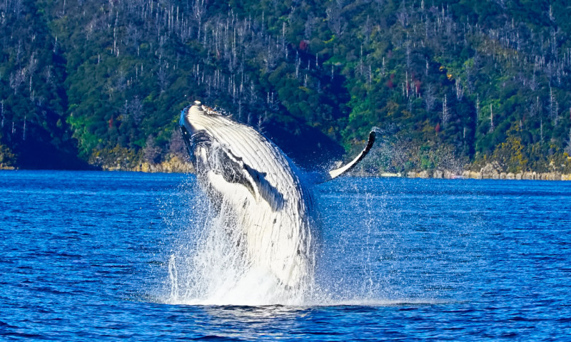 Humpback breaching in Picton