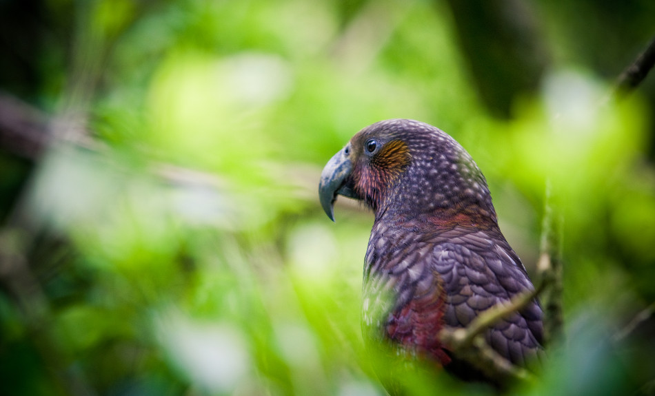 Kaka at Zealandia Wellington